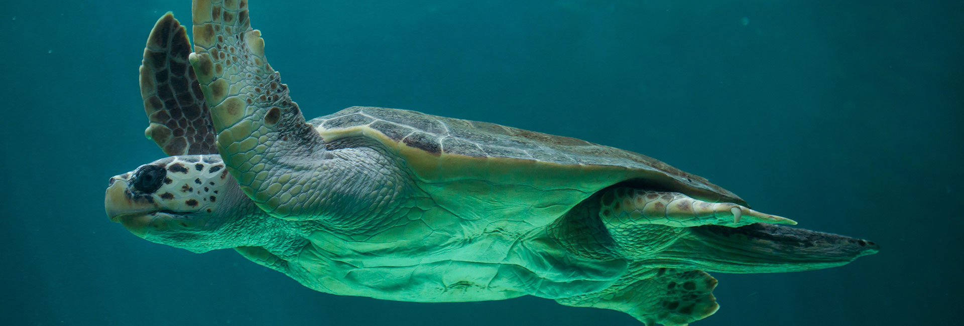 Meet a Caretta-Caretta